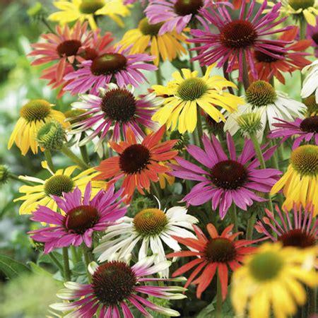 growing echinacea in pots growing echinacea for and health berkeley garden coach