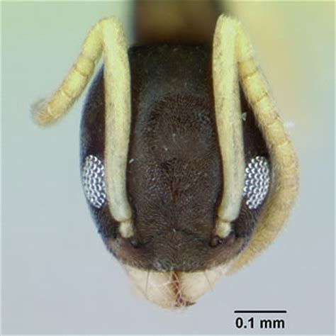 ghost ant catseye pest control