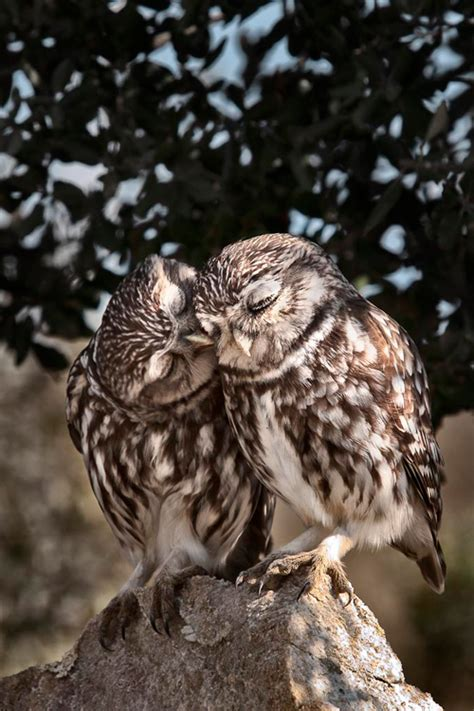 owl kiss pictures   images  facebook tumblr