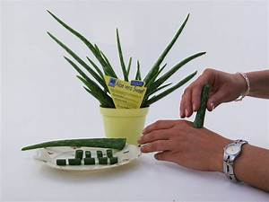 Aloe Vera Pflanze Gel Oder Creme Selber Machen Die