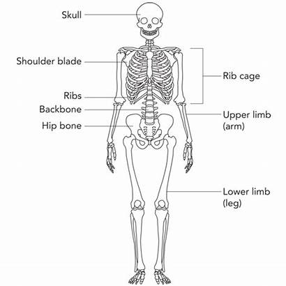 Skeleton Bones Simple Bone Names Drawing Clipart