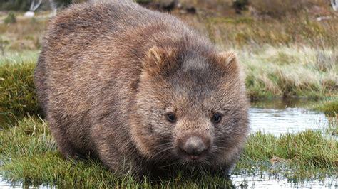 raetsel geloest  entsteht die wuerfel kacke von wombats