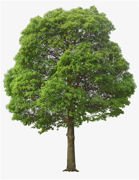 foliage of trees lush tree maunsell trees leaves png image and clipart for free download
