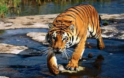 Mamifero Wallpaperup Felino Bengala Tigre