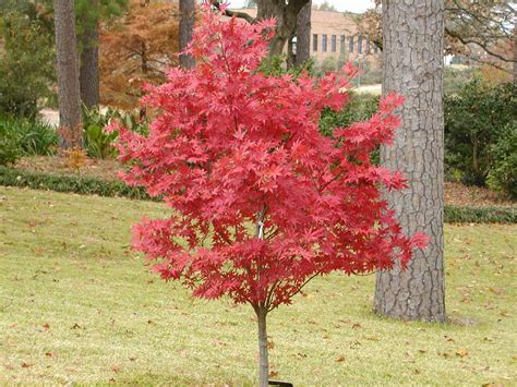 maple tree japanese japanese maple bloodgood 10 quot pot hello hello plants garden supplies