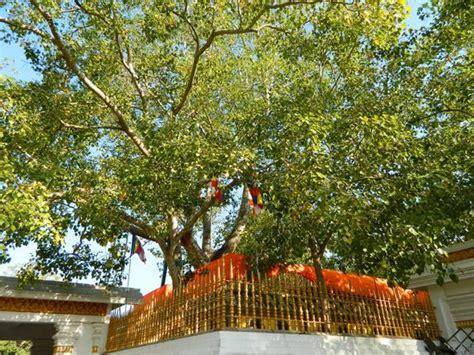 bodhi tree portland ancient bodhi tree picture of bodhi bo tree anuradhapura tripadvisor