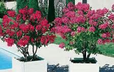 lilas en pot entretien lagerstroemia lilas des indes conseils de plantation taille entretien