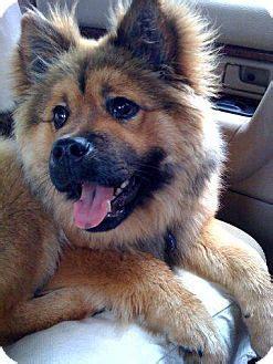 sable adopted dog tucker ga german shepherd dog