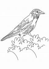 Crow Coloring American Pages Bird Crows Flicker Drawing Printable Colouring Northern Template Bestcoloringpages Sketch Tattoo Designlooter Birds Getdrawings Tailed Hawk sketch template