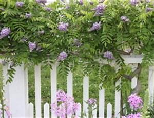 Garten Sichtschutz Pflanzen : sichtschutz im garten pflanzen so geht 39 s mit kletterpflanzen ~ Watch28wear.com Haus und Dekorationen