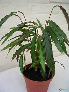 Photo Plante D39intrieurcalathea