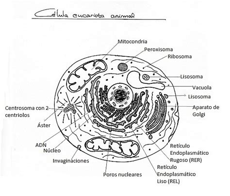 celula eucariota para colorear con sus partes Brainly lat