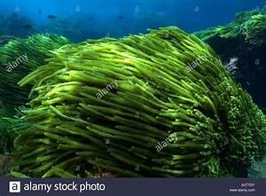 Green algae Caulerpa racemosa St Peter and St Paul s rocks ...