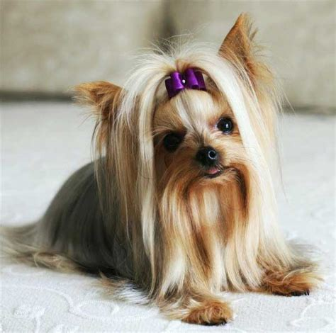 teacup yorkie shedding are yorkies hypoallergenic dogs terriers and