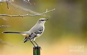 Texas Mockingbird Photograph by David Cutts