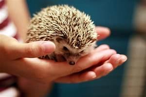 Hedgehog Teeth - Hedgehog Tooth Diseases - Hedgehogs