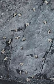 Mountain Goats Climbing