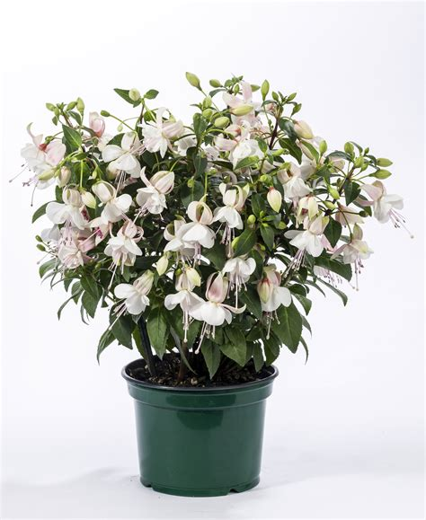 fuchsia hybrid charm white white compact charm chime series mail order plants buy now