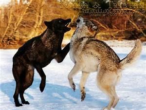 Wolf Fighting Dog