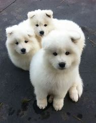 White Samoyed Puppies