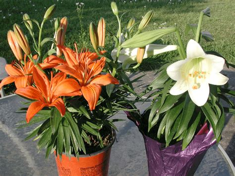 how to plant lillies f b 23