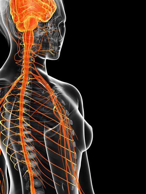 systeme nerveux  systeme immunitaire une relation  etroite  nous ne le pensions
