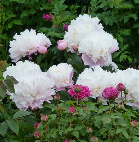 peonies and roses roses are blooming part 1 sissinghurst garden