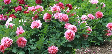 growing peony flowers peony flower start growing your own diy front yard garden photo ideas bored fast food