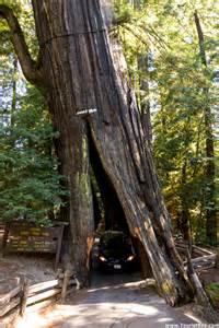California Giant Avenue of Trees