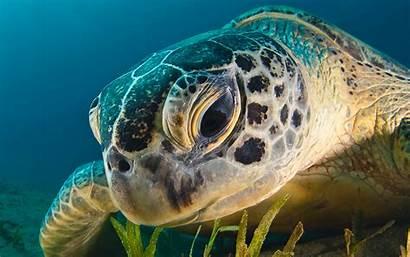 Turtle Sea Water 4k Desktop Wallpapers