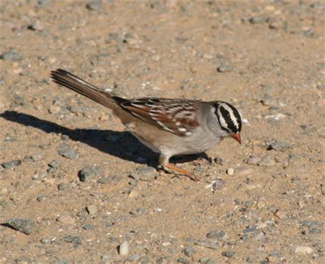 sparrows cardinals