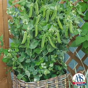 Grow Peas In Containers With The Variety Patio Pride