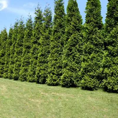 fast growing fast growing tree nursery review thenurseries