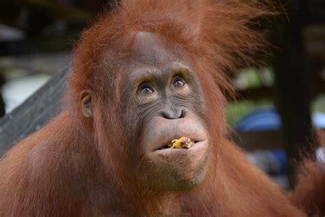 meki  orangutan project