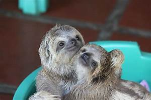 Baby sloths - Picture of Toucan Rescue Ranch, Heredia ...