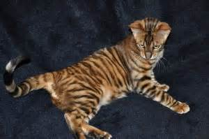 cats that look like tigers toyger house cat bred to look like a tiger need random