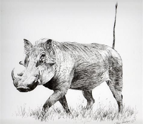 warthog study guy combes drawings   animales