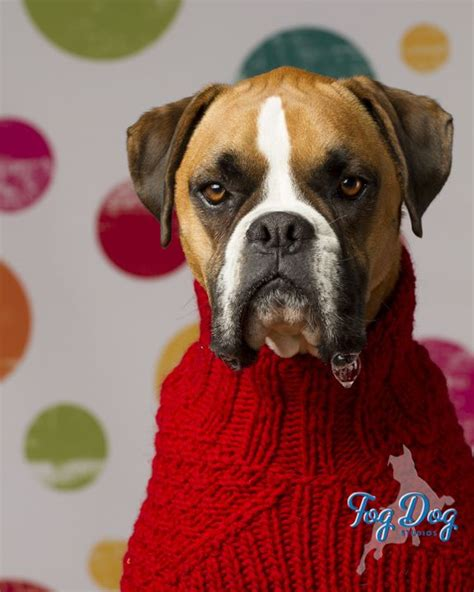 sweaters for boxer dogs 17 best images about boxer human added stuff on