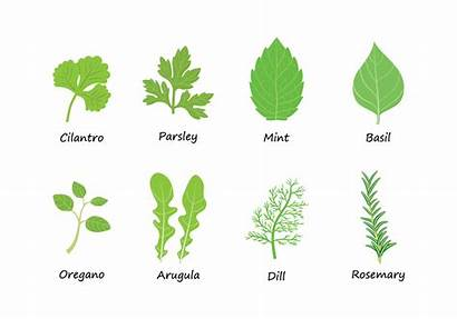 Herbs Vector Svg Graphic Graphics Rosemary Ai