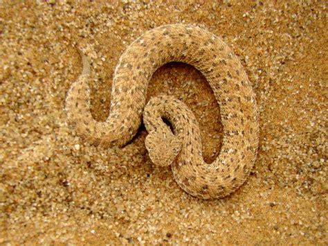 mestre da camuflagem cobra  deserto peringueys adder