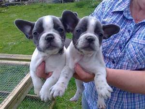 Beautiful Blue French Bulldog Puppy | Male Models Picture