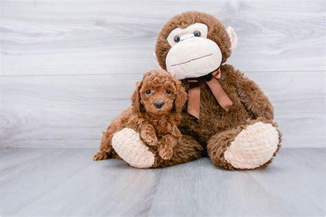 fb cockapoo puppy