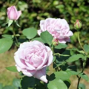 Mainzer Fastnacht Rose : rose mainzer fastnacht online kaufen rosen tantau ~ Orissabook.com Haus und Dekorationen