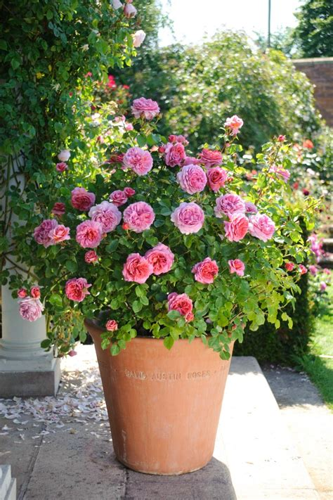 miniature roses for containers and patio gardens hgtv