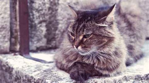 lifespan of a cat the average lifespan of a cat breed by breed chart petcarerx