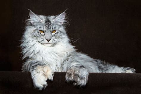incredible portraits  maine coon cats