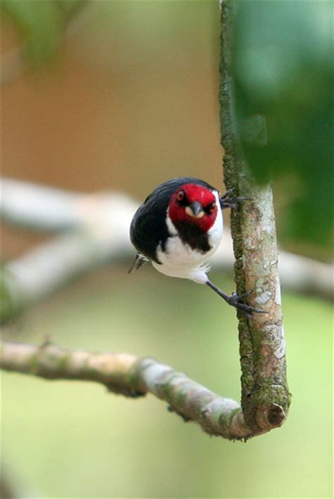red capped cardinal paroaria gularis  yasuni national