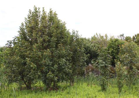 wetland trees file cunonia capensis trees cape town wetland jpg