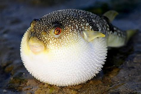 whatsapp puffer fish turns   ball  protect