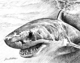 Great White Sharks Pencil Drawings Sketches